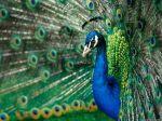 Peacock true colors